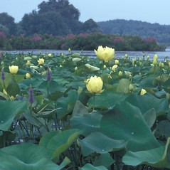 Flowers: Nelumbo lutea. ~ By Jean Baxter. ~ Copyright © 2020 New England Wild Flower Society. ~ Image Request, images[at]newenglandwild.org