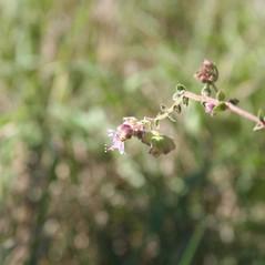 Flowers: Mirabilis albida. ~ By Derek Anderson. ~ Copyright © 2021 Derek Anderson. ~  ~ Robert W. Freckmann Herbarium, U. of Wisconsin-Stevens Point