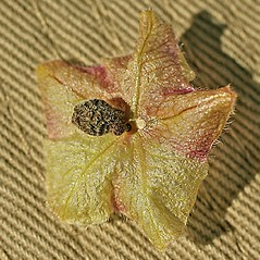 Fruits: Mirabilis linearis. ~ By Dale A. Zimmerman Herbarium - Western New Mexico University. ~ Copyright © 2021 Dale A. Zimmerman Herbarium - Western New Mexico University. ~ Dale A. Zimmerman Herbarium - Western New Mexico University ~ Dale A. Zimmerman Herbarium - Western New Mexico U.