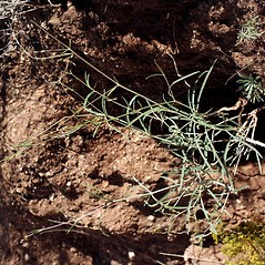 Plant form: Mirabilis linearis. ~ By Dale A. Zimmerman Herbarium - Western New Mexico University. ~ Copyright © 2021 Dale A. Zimmerman Herbarium - Western New Mexico University. ~ Dale A. Zimmerman Herbarium - Western New Mexico University ~ Dale A. Zimmerman Herbarium - Western New Mexico U.