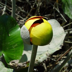 Flowers and fruits: Nuphar advena. ~ By Arthur Haines. ~ Copyright © 2021. ~ arthurhaines[at]wildblue.net
