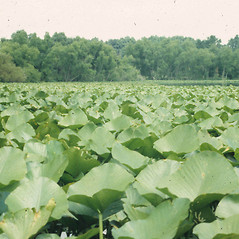 Plant form: Nuphar advena. ~ By C. Barre Hellquist. ~ Copyright © 2021 C. Barre Hellquist. ~ C.Barre.Hellquist[at]mcla.edu ~ U. of New Hampshire