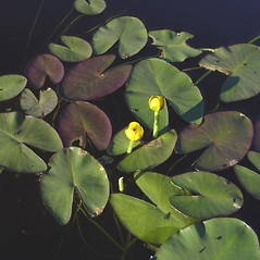 Flowers and fruits: Nuphar microphylla. ~ By Donald Cameron. ~ Copyright © 2020 Donald Cameron. ~ No permission needed for non-commercial uses, with proper credit