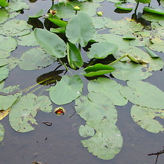 Plant form: Nuphar variegata. ~ By Arthur Haines. ~ Copyright © 2021. ~ arthurhaines[at]wildblue.net