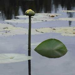 Inflorescences: Nuphar variegata. ~ By Jill Weber. ~ Copyright © 2020 Jill Weber. ~ jillweber03[at]gmail.com