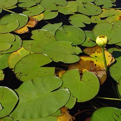 Leaves: Nuphar variegata. ~ By Donald Cameron. ~ Copyright © 2019 Donald Cameron. ~ No permission needed for non-commercial uses, with proper credit