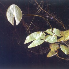 Leaves: Nymphaea leibergii. ~ By Donald Cameron. ~ Copyright © 2020 Donald Cameron. ~ No permission needed for non-commercial uses, with proper credit