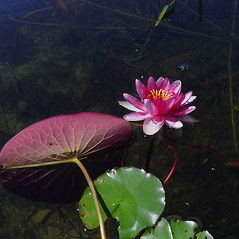 Flowers and fruits: Nymphaea tuberosa. ~ By Donald Cameron. ~ Copyright © 2021 Donald Cameron. ~ No permission needed for non-commercial uses, with proper credit