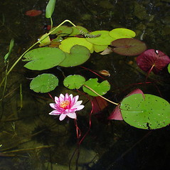 Plant form: Nymphaea tuberosa. ~ By Donald Cameron. ~ Copyright © 2021 Donald Cameron. ~ No permission needed for non-commercial uses, with proper credit