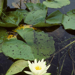 Inflorescences: Nymphaea tuberosa. ~ By Kenneth Robertson. ~ Copyright © 2021 Kenneth Robertson. ~ No permission needed for non-commercial uses, with proper credit ~ PhytoImages - www.phytoimages.siu.edu/