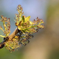 Flowers: Fraxinus nigra. ~ By Marilylle Soveran. ~ Copyright © 2020 CC BY-NC. ~  ~ Encyclopedia of Life - www.eol.org