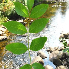 Leaves: Fraxinus nigra. ~ By Donna Kausen. ~ Copyright © 2020 Donna Kausen. ~ 33 Bears Den, Addison, ME 04606