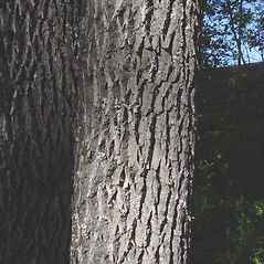 Bark: Fraxinus pennsylvanica. ~ By Donald Cameron. ~ Copyright © 2019 Donald Cameron. ~ No permission needed for non-commercial uses, with proper credit