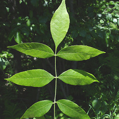 Leaves: Fraxinus pennsylvanica. ~ By Donald Cameron. ~ Copyright © 2020 Donald Cameron. ~ No permission needed for non-commercial uses, with proper credit