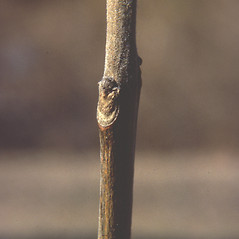 Winter buds: Fraxinus pennsylvanica. ~ By Carol Levine. ~ Copyright © 2020 Carol Levine. ~ carolflora[at]optonline.net