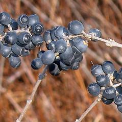 Fruits: Ligustrum obtusifolium. ~ By Alexey Zinovjev. ~ Copyright © 2020. ~ webmaster[at]salicicola.com ~ Salicicola - www.salicicola.com/