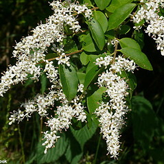 Flowers: Ligustrum sinense. ~ By Will Cook. ~ Copyright © 2019 Will Cook. ~ cwcook[at]duke.edu, carolinanature.com ~ North Carolina Plant Photos - www.carolinanature.com/plants/