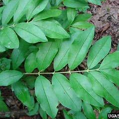Leaves: Ligustrum sinense. ~ By Troy Evans. ~ Copyright © 2020 CC BY-NC 3.0. ~  ~ Bugwood - www.bugwood.org/