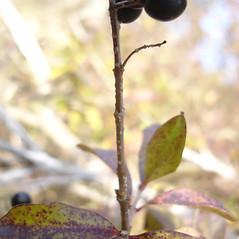 Bark: Ligustrum vulgare. ~ By Jill Weber. ~ Copyright © 2020 Jill Weber. ~ jillweber03[at]gmail.com