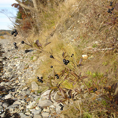 Plant form: Ligustrum vulgare. ~ By Jill Weber. ~ Copyright © 2020 Jill Weber. ~ jillweber03[at]gmail.com