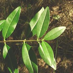 Leaves: Ligustrum vulgare. ~ By Glen Mittelhauser. ~ Copyright © 2020 Glen Mittelhauser. ~ www.mainenaturalhistory.org