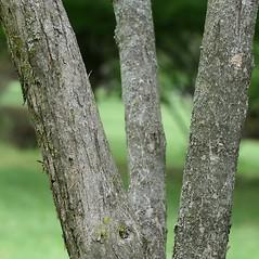 Bark: Syringa vulgaris. ~ By Arieh Tal. ~ Copyright © 2020 Arieh Tal. ~ www.nttlphoto.com ~ Arieh Tal - www.nttlphoto.com