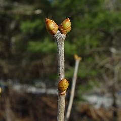 Winter buds: Syringa vulgaris. ~ By Arthur Haines. ~ Copyright © 2021. ~ arthurhaines[at]wildblue.net
