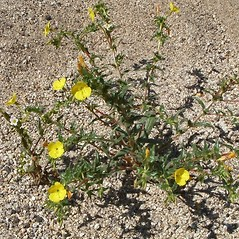 Plant form: Camissonia bistorta. ~ By Neal Kramer. ~ Copyright © 2021 Neal Kramer. ~ kramerbotanical[at]yahoo.com ~ CalPhotos - calphotos.berkeley.edu/flora/