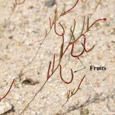 Fruits: Camissonia campestris. ~ By Keir Morse. ~ Copyright © 2020 Keir Morse. ~ www.keiriosity.com ~ CalPhotos - calphotos.berkeley.edu/flora/