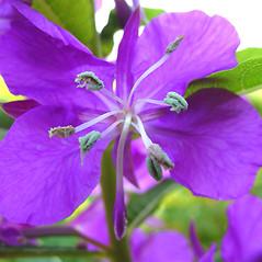 Flowers: Chamerion angustifolium. ~ By Glen Mittelhauser. ~ Copyright © 2021 Glen Mittelhauser. ~ www.mainenaturalhistory.org