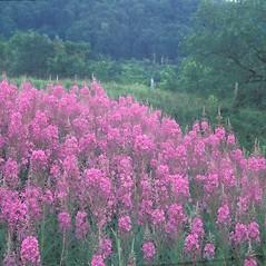 Plant form: Chamerion angustifolium. ~ By Arieh Tal. ~ Copyright © 2019 Arieh Tal. ~ www.nttlphoto.com ~ Arieh Tal - www.nttlphoto.com