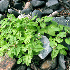 Plant form: Circaea alpina. ~ By Marilee Lovit. ~ Copyright © 2020 Marilee Lovit. ~ lovitm[at]gmail.com