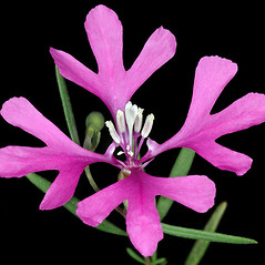 Flowers: Clarkia pulchella. ~ By Gerry Carr. ~ Copyright © 2020 Gerry Carr. ~ gdcarr[at]comcast.net ~ Oregon Flora Image Project - www.botany.hawaii.edu/faculty/carr/ofp/ofp_index.htm