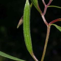 Fruits: Clarkia pulchella. ~ By Ben Legler. ~ Copyright © 2020 Ben Legler. ~ mountainmarmot[at]hotmail.com ~ U. of Washington - WTU - Herbarium - biology.burke.washington.edu/herbarium/imagecollection.php