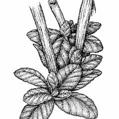 Leaves: Epilobium ciliatum. ~ By Elizabeth Farnsworth. ~ Copyright © 2021 New England Wild Flower Society. ~ Image Request, images[at]newenglandwild.org