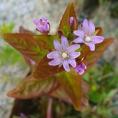 Flowers: Epilobium ciliatum. ~ By Glen Mittelhauser. ~ Copyright © 2021 Glen Mittelhauser. ~ www.mainenaturalhistory.org