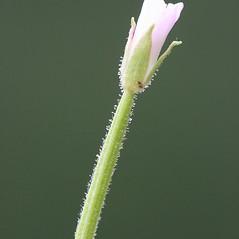 Additional features: Epilobium ciliatum. ~ By Arieh Tal. ~ Copyright © 2021 Arieh Tal. ~ http://botphoto.com/ ~ Arieh Tal - botphoto.com