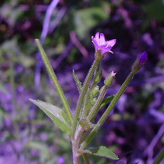 Flowers: Epilobium ciliatum. ~ By Arthur Haines. ~ Copyright © 2021. ~ arthurhaines[at]wildblue.net
