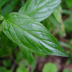 Leaves: Epilobium ciliatum. ~ By Arthur Haines. ~ Copyright © 2021. ~ arthurhaines[at]wildblue.net