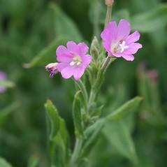 Flowers: Epilobium hirsutum. ~ By Arieh Tal. ~ Copyright © 2021 Arieh Tal. ~ http://botphoto.com/ ~ Arieh Tal - botphoto.com