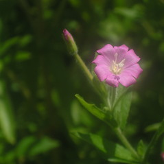 Flowers: Epilobium hirsutum. ~ By Bruce Patterson. ~ Copyright © 2021 Bruce Patterson. ~ foxpatterson[at]comcast.net