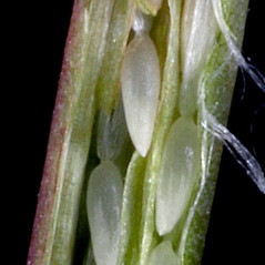 Fruits: Epilobium lactiflorum. ~ By Gerry Carr. ~ Copyright © 2020 Gerry Carr. ~ gdcarr[at]comcast.net ~ Oregon Flora Image Project - www.botany.hawaii.edu/faculty/carr/ofp/ofp_index.htm
