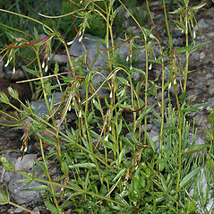 Plant form: Epilobium lactiflorum. ~ By Gerry Carr. ~ Copyright © 2020 Gerry Carr. ~ gdcarr[at]comcast.net ~ Oregon Flora Image Project - www.botany.hawaii.edu/faculty/carr/ofp/ofp_index.htm