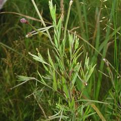 Plant form: Epilobium leptophyllum. ~ By Glen Mittelhauser. ~ Copyright © 2020 Glen Mittelhauser. ~ www.mainenaturalhistory.org