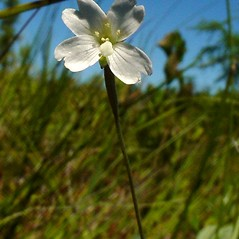 Flowers: Epilobium palustre. ~ By Glen Mittelhauser. ~ Copyright © 2020 Glen Mittelhauser. ~ www.mainenaturalhistory.org