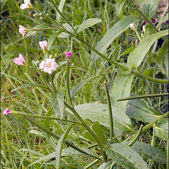 Plant form: Epilobium parviflorum. ~ By Amadej Trnkoczy. ~ Copyright © 2021 Amadej Trnkoczy. ~ amadej.trnkoczy[at]siol.net ~ CalPhotos - calphotos.berkeley.edu/flora/