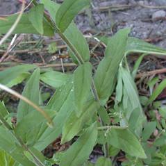 Leaves: Epilobium parviflorum. ~ By Andrew Nelson. ~ Copyright © 2021 Andrew Nelson. ~ andrew.nelson[at]oswego.edu   ~ New York Flora Atlas - newyork.plantatlas.usf.edu