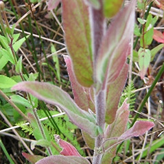 Leaves: Epilobium parviflorum. ~ By Beverly Walters. ~ Copyright © 2021 Beverly Walters. ~ No permission needed for non-commercial uses, with proper credit ~ U. of Michigan Herbarium - herbarium.lsa.umich.edu/