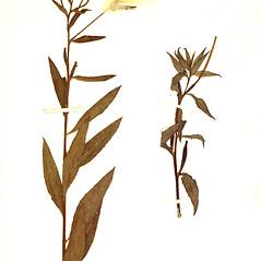 Plant form: Oenothera grandiflora. ~ By Botanic Garden and Botanical Museum Berlin-Dahlem. ~ Copyright © 2021 CC BY-SA. ~  ~ Botanic Garden and Botanical Museum Berlin-Dahlem - ww2.bgbm.org/Herbarium/default.cfm