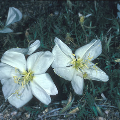 Flowers: Oenothera laciniata. ~ By Frank Bramley. ~ Copyright © 2020 New England Wild Flower Society. ~ Image Request, images[at]newenglandwild.org